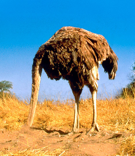 Ostrich with its head in the sand.
